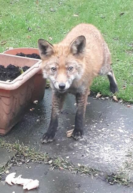 Foxes | Freshfields Animal Rescue