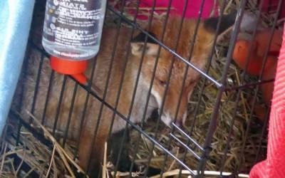 An injured Fox.