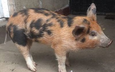 A Piglet found in a Town Centre.